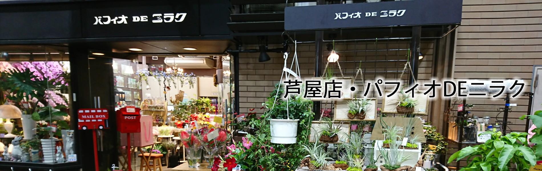 芦屋店・パフィオDEニラク